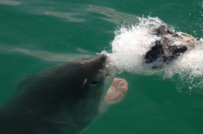 White shark tours in Cape Town