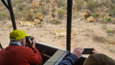 Lions in Aquila Game Reserve